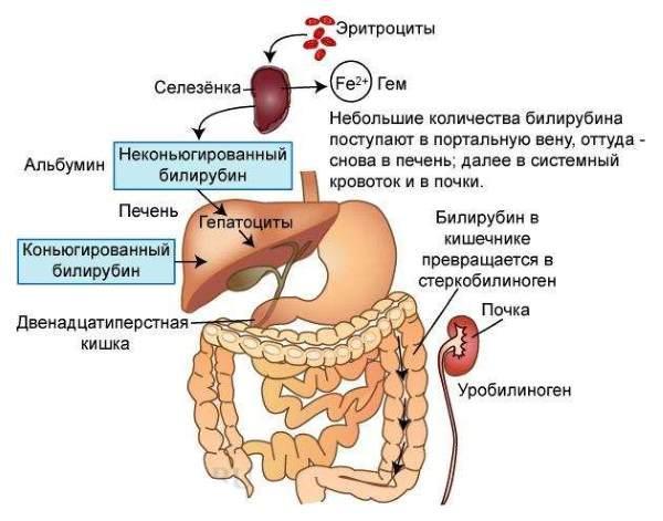 билирубин в организме