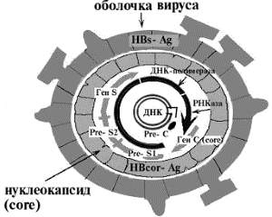 строение вируса