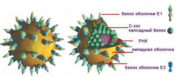 модель вируса гепатита