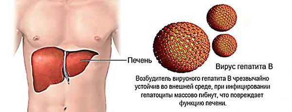 действие вируса гепатита в