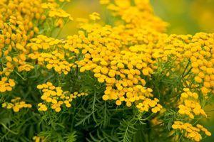 цветы пижмы