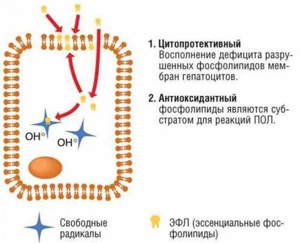 механизм действия фосфолипидов