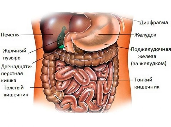 анатомия брюшной полости человека