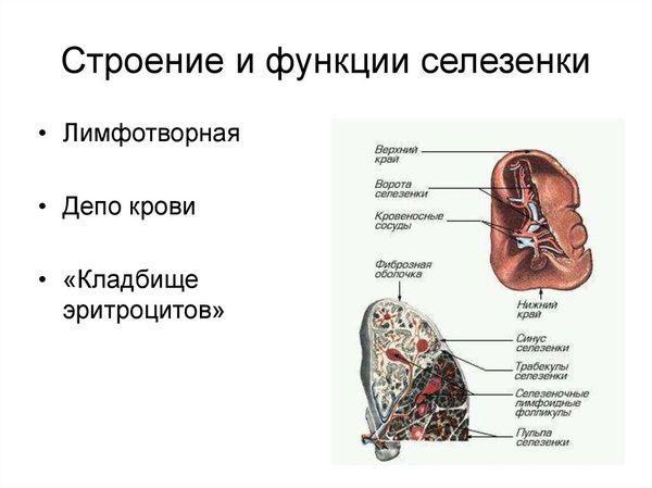 строение и функции селезенки