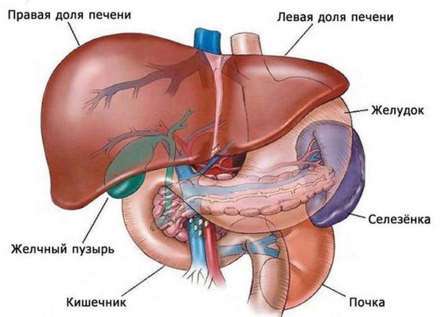 органы